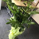 観葉植物をいただいた